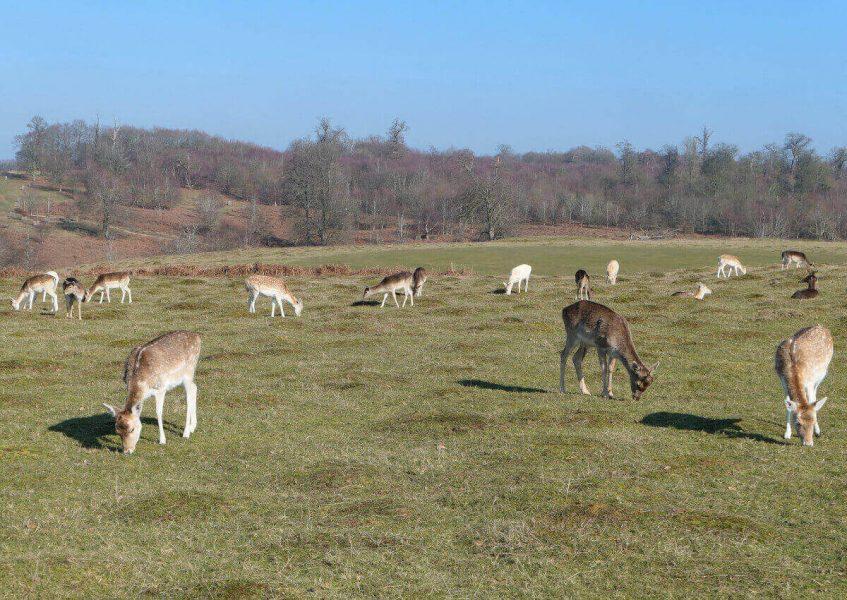 Deers at Knole